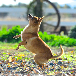 by Craig Luchin - Animals - Dogs Playing