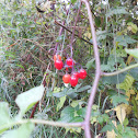 nightshade berries