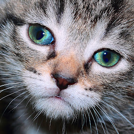 Marg by Paul Mays - Animals - Cats Portraits ( kitten, cat, feline, eyes, animal )