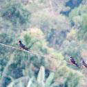 Sri Lanka Swallow
