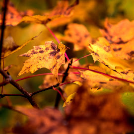 by Deborah Crawford - Nature Up Close Trees & Bushes ( fall, color, colorful, nature )