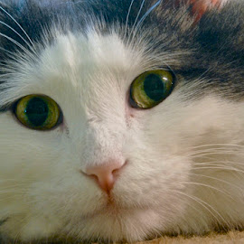 Sid by Robert Remacle - Animals - Cats Portraits ( collection, non family,  )