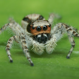 Salticidae II by Muhd Shahjeehan - Animals Insects & Spiders