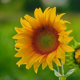 by Nikša Šapro - Flowers Flower Gardens