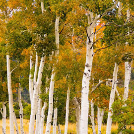 by Daryl Portier - Landscapes Forests ( fall colors, fall, aspens )