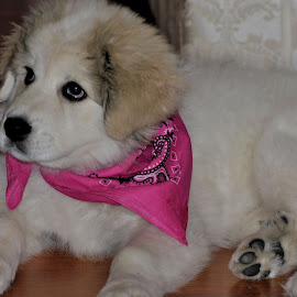 Pyr by Sylvain Montpetit - Animals - Dogs Puppies