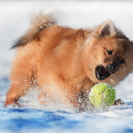 fast ball by Michael Sweeney - Animals - Dogs Playing ( scotland, michael sweeney, nikon dog, hugo, playing, fast ball, ice, pomerainam, snow, carn gorm, puppy, nikon, pomeranian )