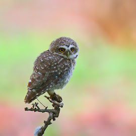 Indian Spotted Owlet by Devki Nandan - Animals Birds
