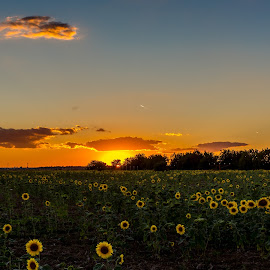 Sunset and Sunflowers by Tudor Migia - Landscapes Prairies, Meadows & Fields ( clouds, field, sunflowers, sunset, romania )