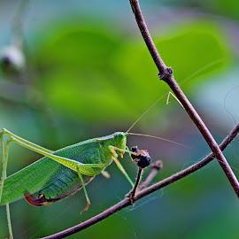 Female Katydid by Laura Emily - Novices Only Wildlife ( bug katydid green insect dslr nikon )
