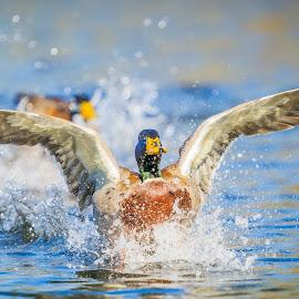 Landing Drake by Chris Hurst - Animals Birds ( bird, drake, mallard, ducks, duck, birds, drake mallard )