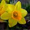 Narcissus (plant) Daffodils