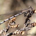Dancer Damselfly
