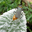 Plague soldier beetle