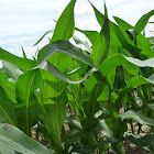 maize or corn