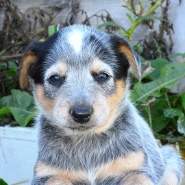 Blue Heeler Puppy by Cynthia Potter Nichols - Animals - Dogs Puppies ( pet portrait, blue heeler puppy, puppies, dogs, acd puppies,  )