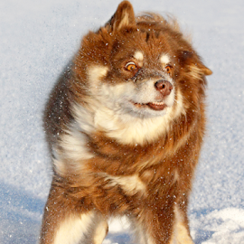 Snow shake by Mia Ikonen - Animals - Dogs Portraits ( finnish lapphund, snow, funny, finland, shaking )