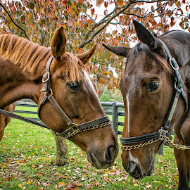Friends by Paulo Peres - Animals Horses ( farm, season, horses, fall, friendship )