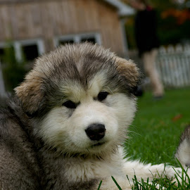 Mr Handsome II by Cheryle Greenly - Animals - Dogs Puppies ( alaskan malamute, puppy, dog )