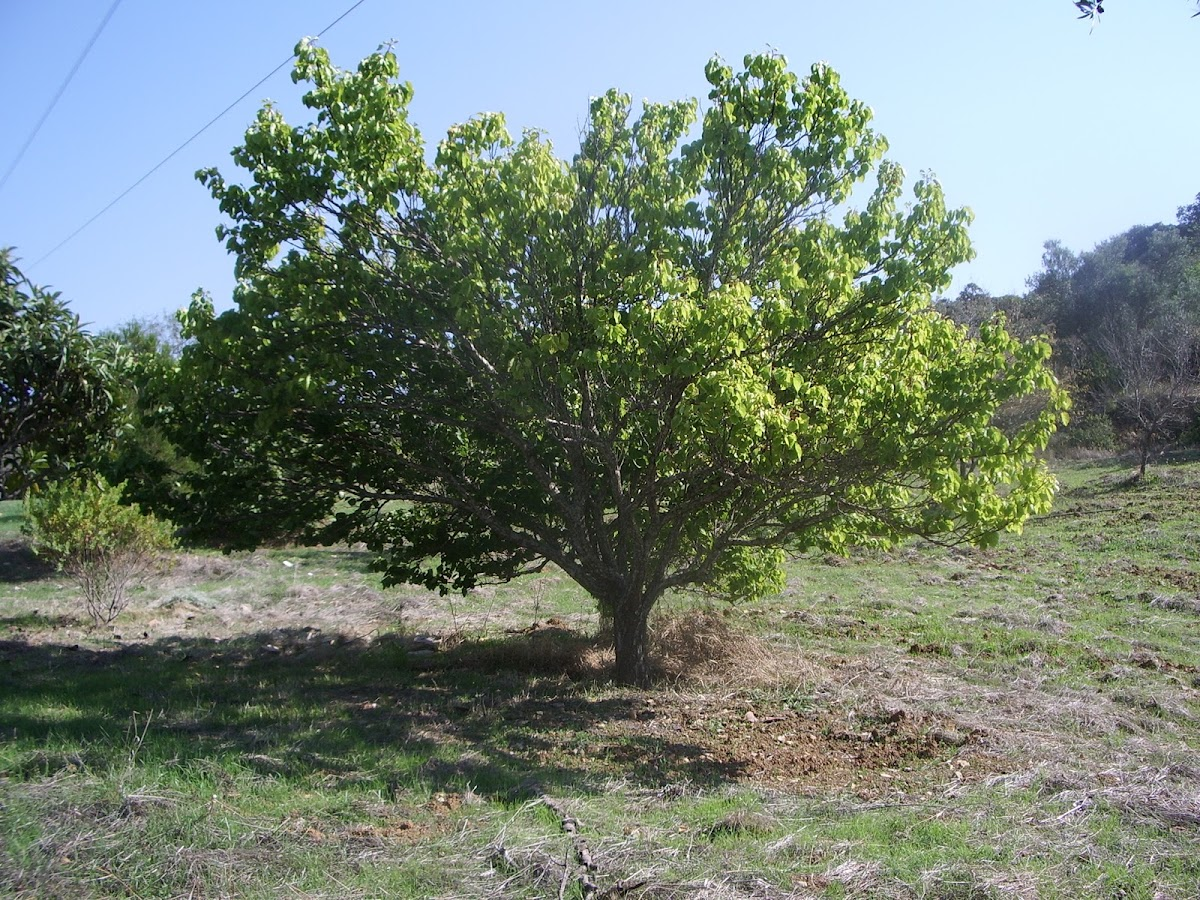 carob tree alfarrobeira