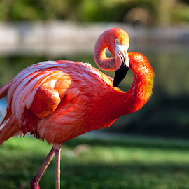 Neck-n-Neck by Kevin Mummau - Novices Only Wildlife ( orange, zoo, florida, flamingo, wildlife, flamingos )