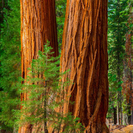 Sequoia by David Kiel - Nature Up Close Trees & Bushes ( redwoods, ca, tree, sequoia, ourlandphoto )