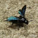 Blueblack Hairy Flower WAsp