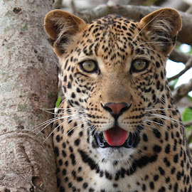 Leopard close up by Jane Dunne - Animals Lions, Tigers & Big Cats (  )