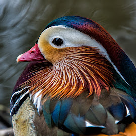 Mandarin at Lakes Edge by David Hammond - Animals Birds ( headshot, colorful, mandarin, duck, birds, portrait,  )