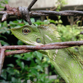 Chameleon in action by Peter Chandrajaya - Animals Reptiles ( scales, green, chameleon, shiny, eyes )