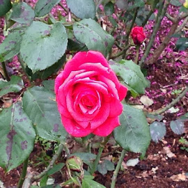 Shoots at ROSE GARDEN Ooty. by Prasath SivaSubramanian - Nature Up Close Gardens & Produce
