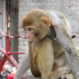 Monkey by Deepak Kumar - Animals Other Mammals ( animals, monkey )