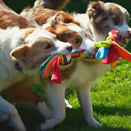 by Veerle Melkebeke - Animals - Dogs Playing