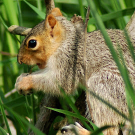 Squirrely by Philip Molyneux - Animals Other Mammals ( nature, grass, squirrel, animal )