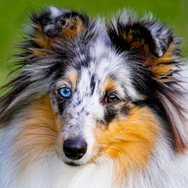 Pretty Blue Eye by Kirk Evans - Animals - Dogs Portraits