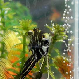 Angelfish by Tara  Smith - Animals Sea Creatures ( fish, swim, aquarium, angelfish, tank )