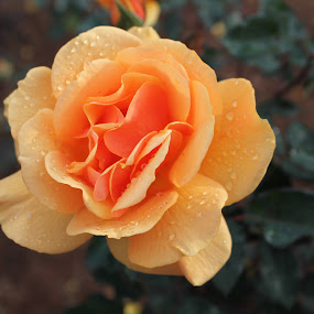 Yellow rose! by Srivenkata Subramanian - Flowers Single Flower ( water, rose, dew, ooty, india, yellow, tamilnadu,  )