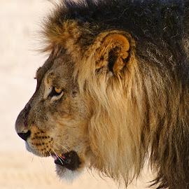 Black-maned Kalahari Lion by Charel Schreuder - Animals Lions, Tigers & Big Cats ( photo sales, lion, south africa, kgalagadi transfrontier park, blue wildebeest, sprinbok, gnu, steenbok, mongoose, googlephotographer, kalahari, charel schreuder, black-maned )