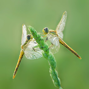 the meeting by Mauro Maione - Animals Insects & Spiders ( macro, dragonfly )