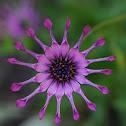 African Daisy - Whirligig cultivar