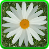 Daisy Of Love