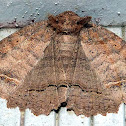 One-lined Zale Moth