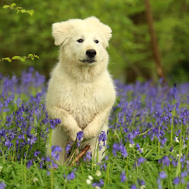 If you go down to the woods today by Gareth Evans - Animals - Dogs Puppies ( great pyrenees, puppy, dog, woods, bluebells )