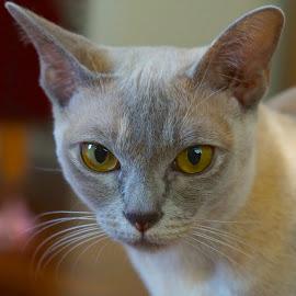 Silvia by Krista Nurmi - Animals - Cats Portraits