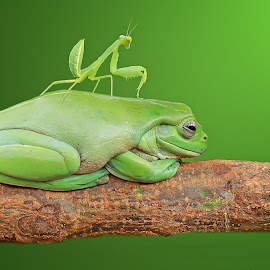mantis & Frog by Thomp Jerry - Animals Amphibians ( #macro #animals #macrophotography #macro #frog )