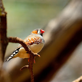 Australian Zebra Finch by RJ Photographics - Novices Only Wildlife
