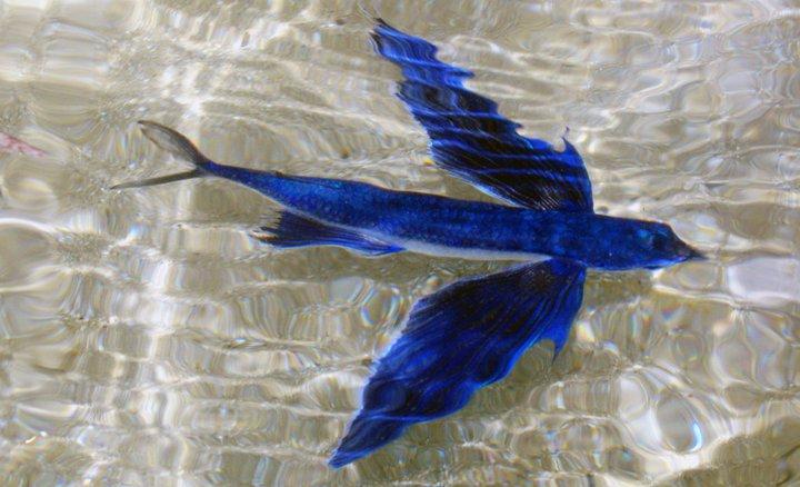 flying fish by cacodaemonia - photo #32