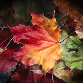 Autumn Colours by Janet Herman - Nature Up Close Leaves & Grasses ( red, maples, autumn, fall, nature up close, yellow, gold, leaf, leaves, maple )