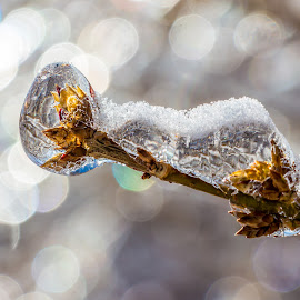 Frozen Bud by Rob Taylor - Nature Up Close Trees & Bushes ( water, winter, drop, ice, bush, bud, frozen,  )