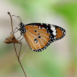 Plain Tiger by Sourav Majhi - Animals Insects & Spiders